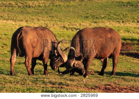 Cape Buffalo Bulls With Horns Locked (Syncerus Caffer)