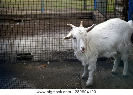 Cute young speckled goat in pen behind fence on farm poster