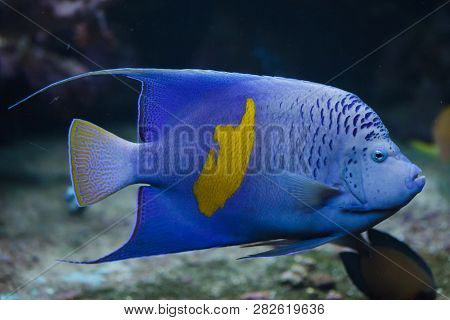 Yellowband angelfish (Pomacanthus maculosus), also known as the halfmoon angelfish.