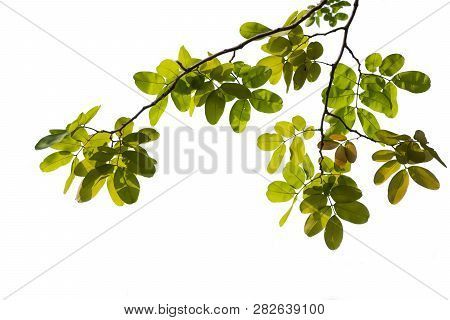 Isolated Of Beautiful Tree Branch With Colorful Leaf On White Background. Clipping Path And Copy Spa