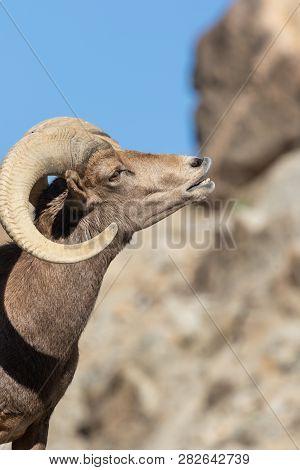 A Nice Desert Bighorn Sheep Ram In Fall