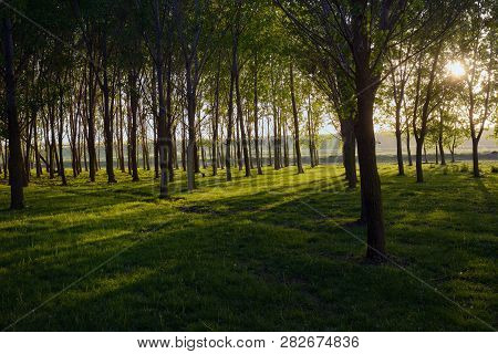 Sun Beams Pour Through Trees In Spring Forest