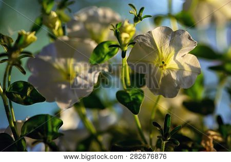White Petunia Flowers In Summer Sunset, Close Up