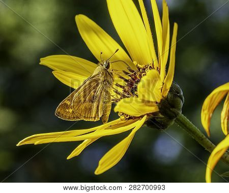 A Zabulon Skipper Butterfly Pollinating A Flower.