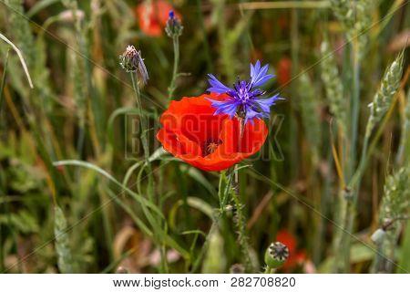 Poppy Flower And Cornflower. Red Poppy Flowers. Blooming Poppy Flowers. Red Poppy Flowers On A Green