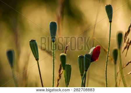 Poppy Seed Boxes On Background Of Sunny Meadow. Poppy Flowers In The Meadow In Yellow Light. Garden