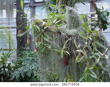 Nepenthes. Little predatory plant with elongated leaves and hanging clusters of small pitchers poster