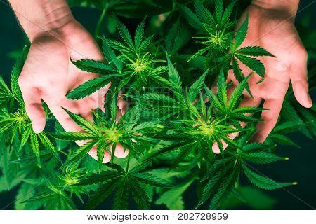 Marihuana Plants Close Up. Planting Weed. Top View. Medical Cannabis And Legalization Of Marijuana.