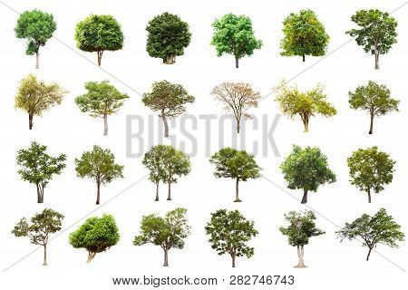 Isolated Big Tree On White Background ,the Collection Of Trees.large Trees Database Botanical Garden