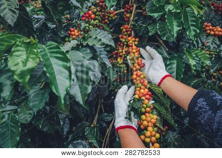 Coffee Tree With Coffee Beans On Coffee Plantation,how To Harvest Coffee Beans. Worker Harvest Arabi