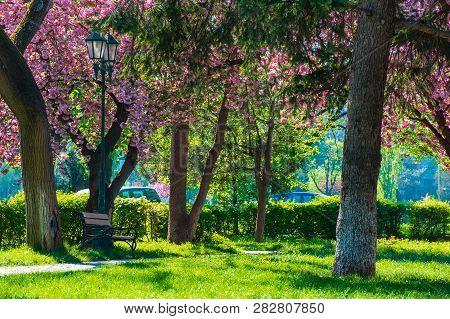 Sakura Blossom In The Masaryk Park In Uzhgorod, Ukraine. Beautiful Urban Scenery With Bench And Lant