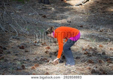 Adult Woman Bends Over, Picking Up A Large Jeffrey Pine Cone In A Field In Mammoth Lakes California.