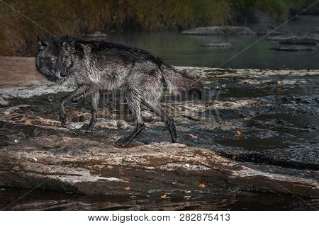 Black Phase Grey Wolf (canis Lupus) Steps Out Of River Autumn - Captive Animal