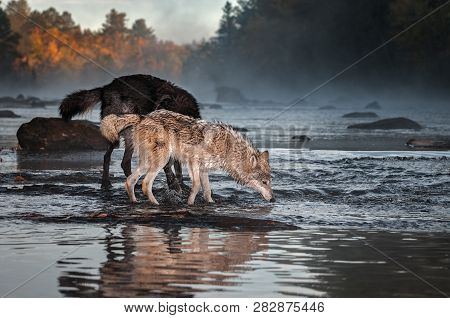 Grey Wolf (canis Lupus) Nose To Water With Black Wolf Autumn - Captive Animals