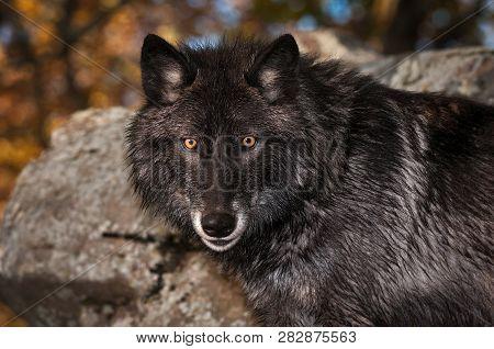 Black Phase Grey Wolf (canis Lupus) Looks Out Autumn - Captive Animal