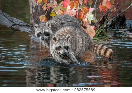 Two Raccoons (procyon Lotor) Look Straight Out Autumn - Captive Animals