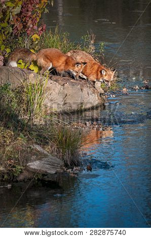 Two Red Fox (vulpes Vulpes) Lean Out On Rock Autumn - Captive Animals