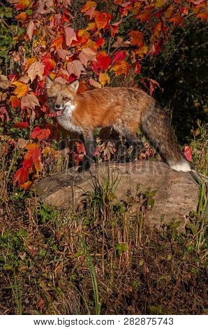 Red Fox (vulpes Vulpes) Stands On Rock Mouth Open Autumn - Captive Animal