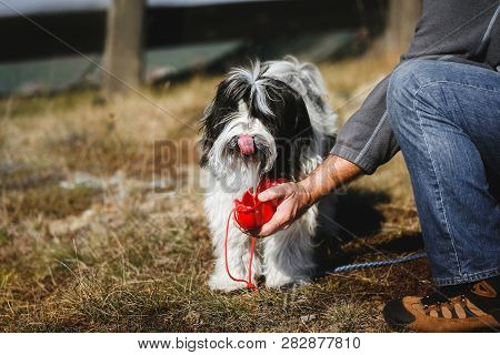 Man Gives Water To His Thirsty Tibetan Terrier Dog, Active Life,  Friendship And Care , Selective Fo