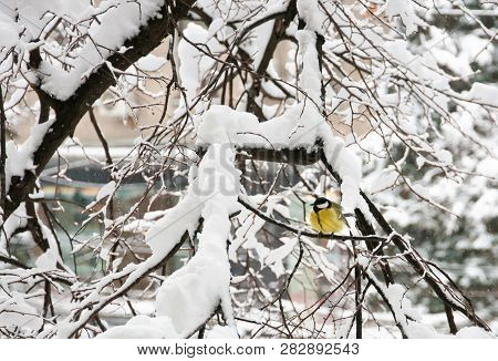 The Great Tit (parus Major) In Winter