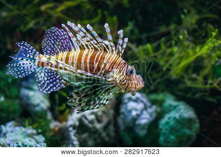 Pterois Volitans. Red Lionfish Pterois Volitans Aquarium Fish. Beautiful And Dangerous Lionfish Pter