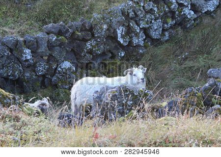 Lake Myvtan In Iceland Has Sheep