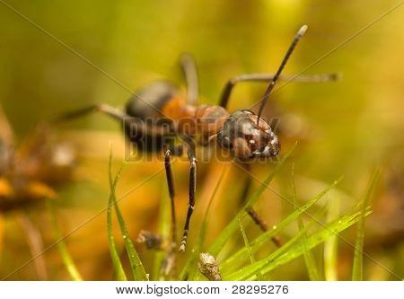 Ant - Formica Rufa