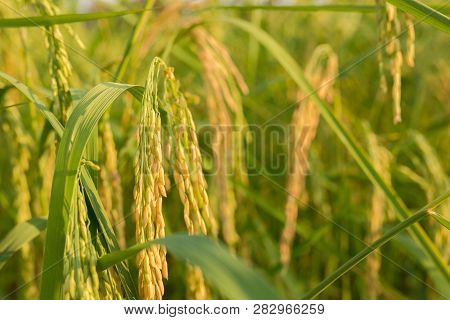 Close Up Gold Rice And Green Leaves  In The Farm