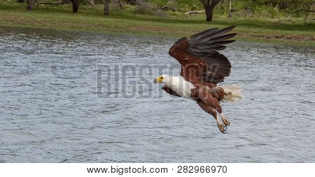 A African Fish Eagle Swopping Down To Catch A Fish In The River