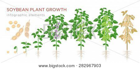 Soybean Plant Growth Stages Infographic Elements. Growing Process Of Soya Beans From Seeds, Sprout T