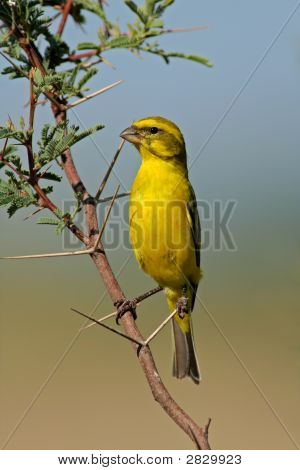 Yellow Canary