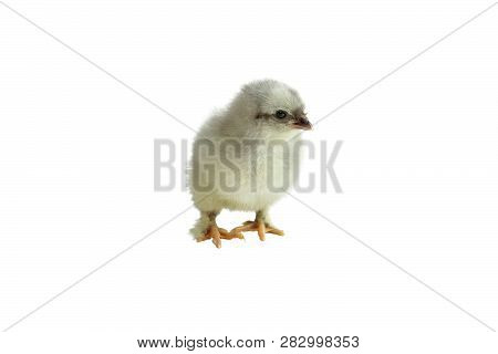 Cute Little French Blue Copper Maran Chicken / Chick Isolated Over A White Background.