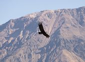 Flying condor over Colca canyon, Peru. Condor is the biggest flying bird on earth. poster