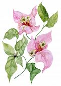 Beautiful bougainvillea flowers on a twig with green leaves. Isolated on white background. Watercolor painting. Hand painted floral illustration. poster