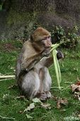 A photo of a Barbary Macaque feeding at Monkey Forest Staffordshire England. poster