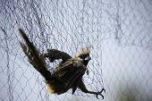 Caught In Bird Net Speckled Mousebird (colius striatus) poster