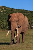 African Elephant Bull (loxodonta africana) showing large tusks poster