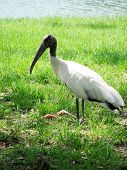 Storks are large wading birds of the tropics and subtropics. They belong to the order Ciconiiformes, which also includes the ibises and spoonbills. Storks are in the family Ciconiidae. poster