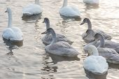 Group of Beautiful white whooping swans swimming in the nonfreezing winter lake. Age birds with their young brood, family concept poster