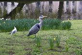 Heron and black-headed gull in Regent's Park - England. poster