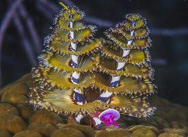 Spirobranchus Giganteus,christmas Tree Worms, On Coral Reef At Night