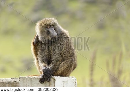 Close Up Of An Olive Baboon Sitting On A Concrete Post, Ethiopia.
