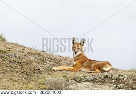 Close Up Of Endangered Ethiopian Wolf  (canis Simensis) Lying In Bale Mountains, Ethiopia.