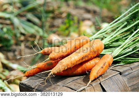 Fresh Harvest Of Carrots In A Rustic Field. Organic Harvest.