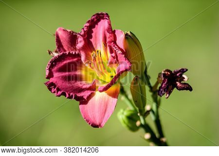Vivid Dark Red Hemerocallis Siloam Paul Watts Plant, Know As Daylily, Lilium Or Lily Plant In A Brit