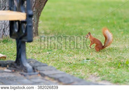 Wildlife Attractions. Red Squirrel Play In Summer Park. Wild Animal On Green Grass. Small Tailed Rod