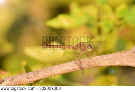 Close Up Detail Of Dragonfly.  Dragonfly Image Is Wild With Blur Background. Dragonfly Isolated.