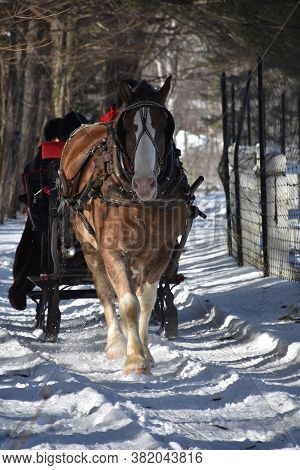 Sweet Draught Horse Pulling A Sleigh In The Winter.