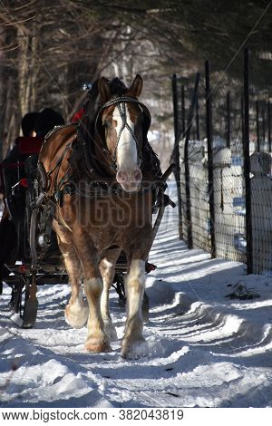 Beautiful Draught Horse Pulling A Sleigh In The Winter.