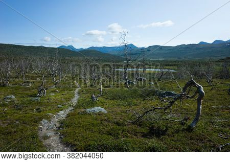 Hiking trail in Abisko National Park in Lapland. Arctic nature of Scandinavia in sunny day, Sweden in summer. Arctic Downy Birch tree forest